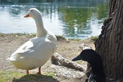 Enten, die nahe bei dem Wasser stillstehen stockbild