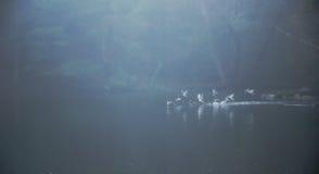 Enten, die vom nebelhaften Teich sich entfernen stockbild