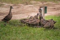Enten, die am Wasser-Hahn trinken Stockfotografie