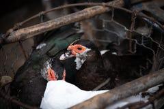 Enten in einem Käfig, der für Lebensmittel verkauft wird Stockfoto