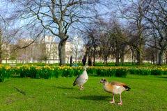 Enten in einem Park stockfoto