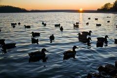 Enten in einem Sonnenuntergang Stockfoto