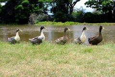 Enten in einer Reihe. Stockfotos