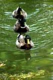 Enten in einer Reihe Stockfotos