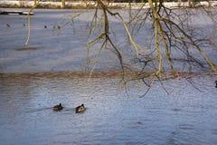 Enten, eisiges Wasser und sonnen- Frankreich Lizenzfreies Stockfoto