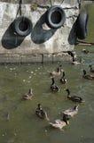 Enten, Fische und Reifen Stockfoto