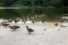 Enten in Folge an einem Park Lizenzfreies Stockfoto