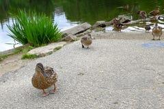 Enten in Folge an einem Park Lizenzfreies Stockbild