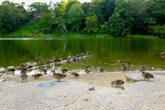Enten in Folge an einem Park Stockfotografie