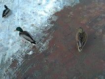 Enten in gefrorener Straße Stockbild