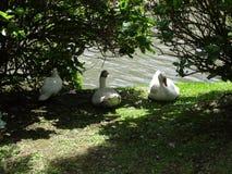 Enten im Gras und in den Anlagen lizenzfreie stockbilder
