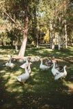 Enten im Park, der ihre Entlein schützt stockbilder