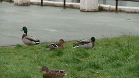 Enten im Stadt Park von Kirow stock video