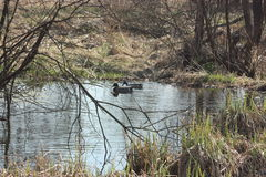 Enten im Teich Stockbilder