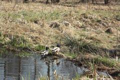 Enten im Teich Stockbild