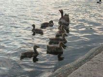 Enten im Teich lizenzfreie stockfotos