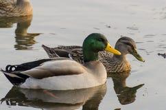 Enten im Wasser Lizenzfreie Stockfotos