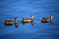 Enten im Wasser Stockbilder