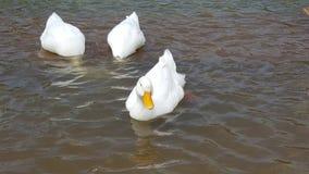 Enten im Wasser Stockbild