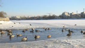 Enten im Wasser stock video footage