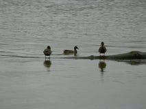 Enten im Wasser Stockfoto