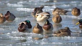 Enten im Wasser und auf dem Eis stock footage