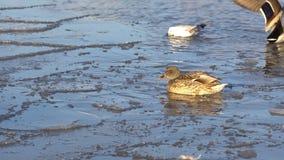 Enten im Wasser und auf dem Eis stock video footage