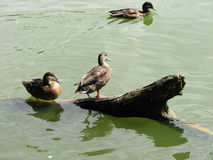 Enten im Wasser und auf einer Niederlassung Stockfotografie