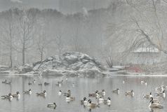 Enten im Winter Stockbilder