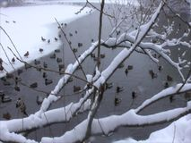 Enten im Winterteich stock footage