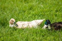 Enten liegen im grünen Gras und aalen sich in der Sonne Lizenzfreies Stockbild