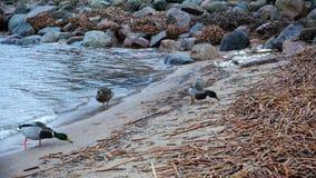 Enten mit den roten Tatzen gehend auf den sandigen Strand stock video
