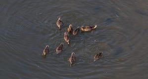 Enten nach Mutter in einer Reihe, See, symbolisches bildliches harmonisches ruhiges Tierfamilienporträt nach Team Stockbild