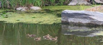 Enten nach Mutter in einer Reihe, See, symbolisches bildliches harmonisches ruhiges Tierfamilienporträt nach Team Lizenzfreie Stockfotografie