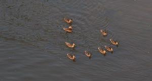 Enten nach Mutter in einer Reihe, See, symbolisches bildliches harmonisches ruhiges Tierfamilienporträt nach Team Stockfotos