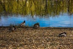 Enten nahe einem See in Budapest Stockfotografie