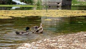 Enten schwimmen in The Creek lizenzfreie stockfotos