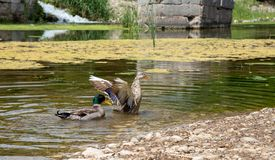Enten schwimmen in The Creek stockfoto