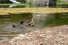 Enten schwimmen in The Creek lizenzfreies stockfoto