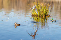 Enten schwimmen in der Flussstadt mit Seemöwe stockfotografie