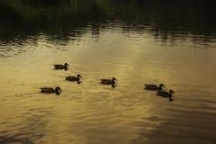 Enten schwimmen in der untergehenden Sonne in Central Park, New York Stockfotos