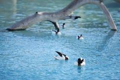 Enten schwimmen im künstlichen Teich, wie natürlich Bereich von Vögeln, Parkwild lebende tiere in Valencia Lizenzfreies Stockfoto