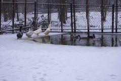 Enten schwimmen im Loch von einem gefrorenen Teich Lizenzfreie Stockfotografie