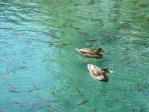 Enten schwimmen nahe bei den Fischen in einem schönen klaren blauen See stockbilder