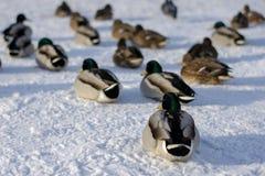 Enten stehen auf Schnee still lizenzfreies stockbild