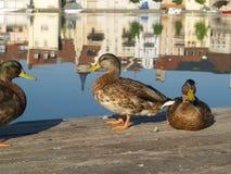3 Enten am Tagesbeginn Stockfotos