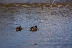 Enten und eisiges wasser- Frankreich Stockfotografie