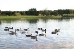 Enten und Gänse Stockbild