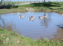 Enten und Gänse auf Teich Lizenzfreies Stockbild