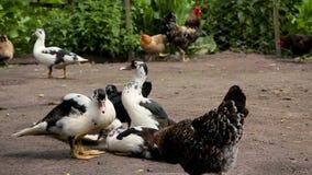Enten und Huhn am Bauernhof stock footage